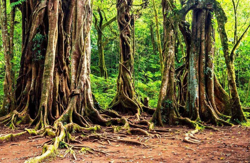 Starobylý banyánový strom