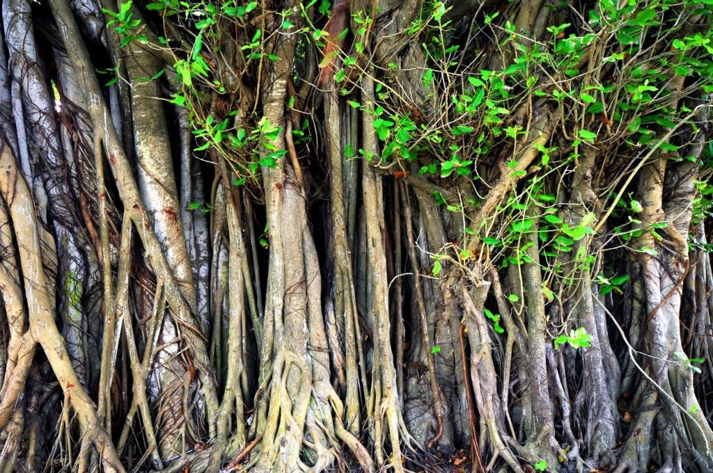 Banyan tree na Maledivách