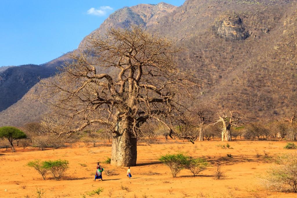 Baobaby v Tanzánii