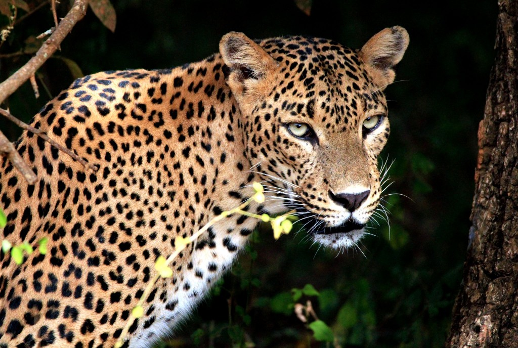 Leopard v národním parku Yala