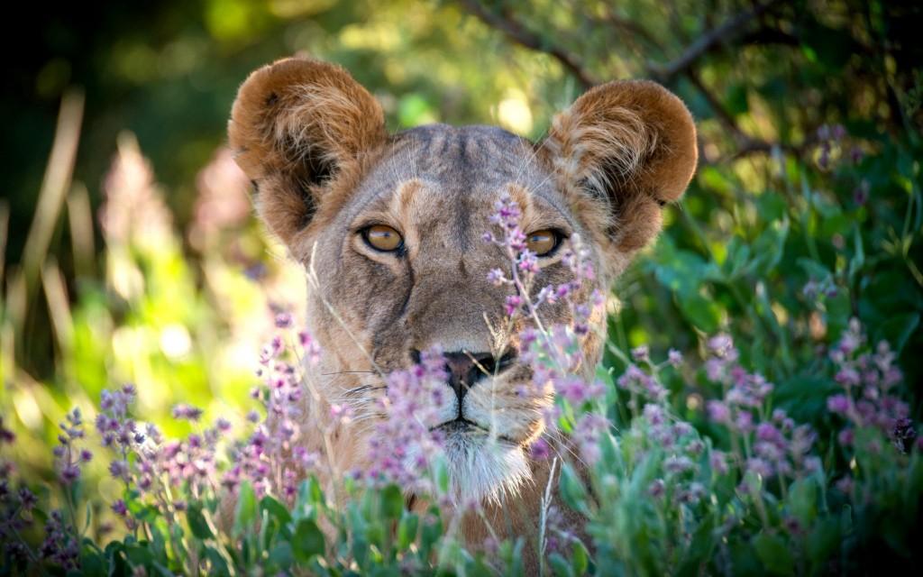 Lvice v národním parku Samburu