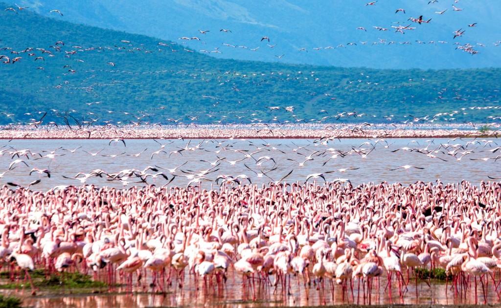 Miliony plameňáků na jezeře Nakuru
