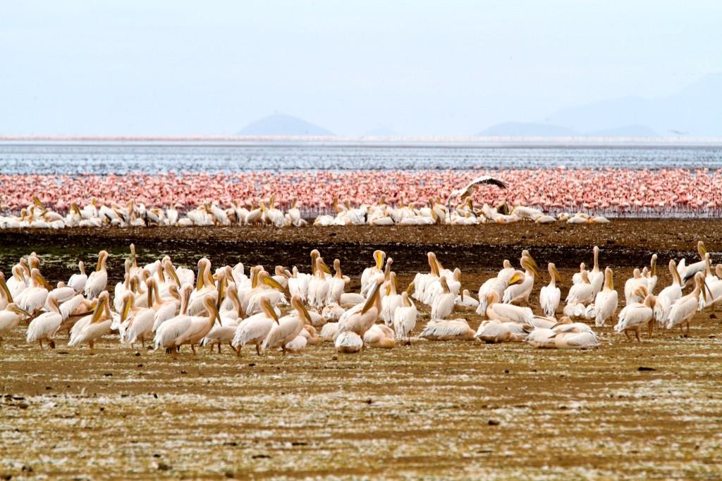Národní park Lake Manyara - hejna pelikánů a plameňáků