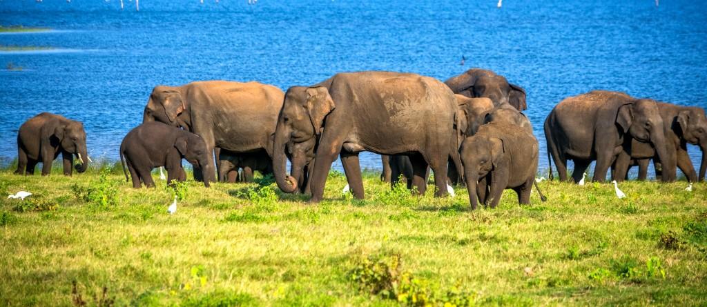Národní park Minneriya - stádo slonů