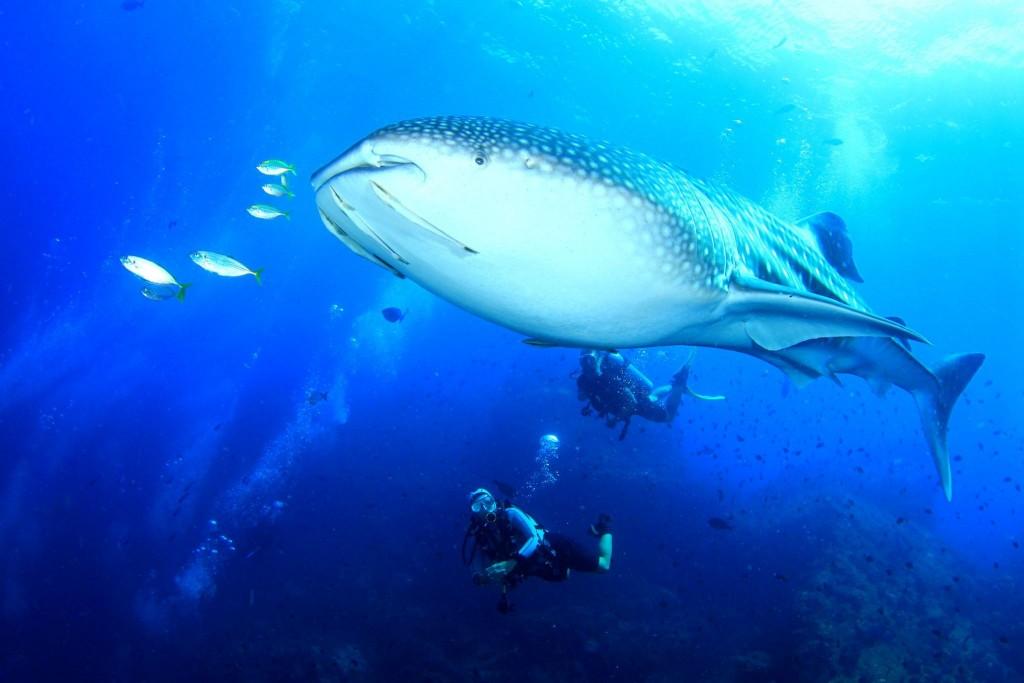 Potápění se žralokem velrybím