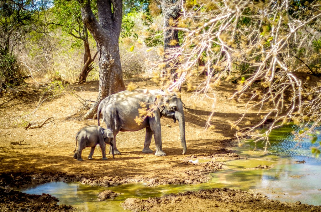 Rodinka slonů v národním parku Yala