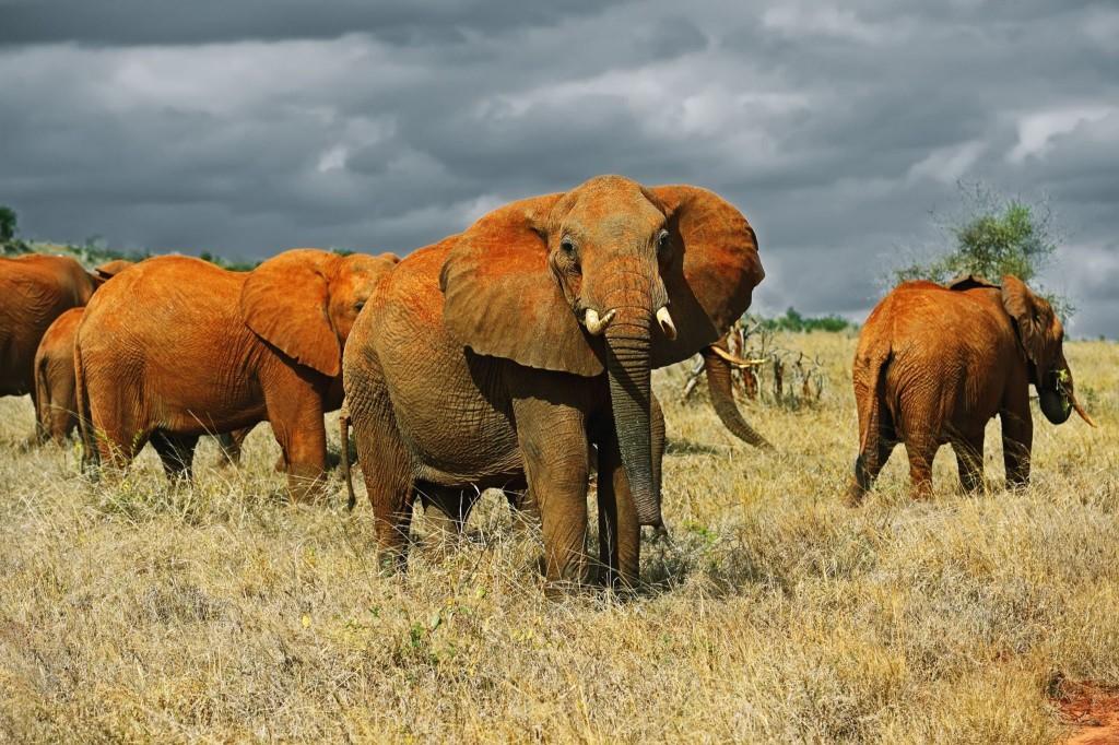 Sloni v národním parku Tsavo East