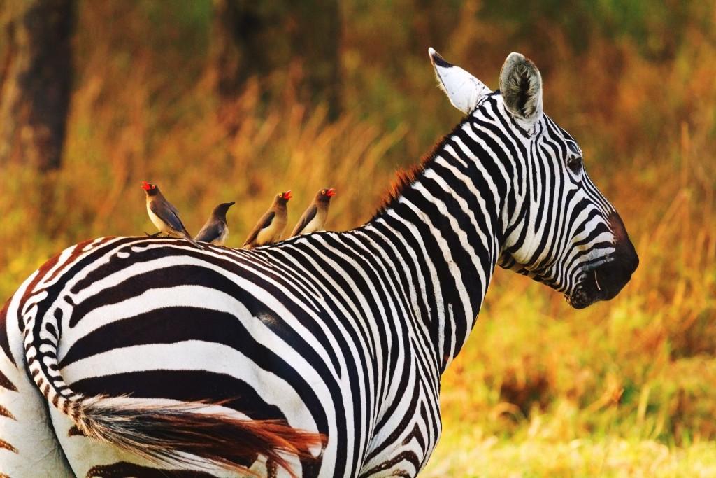 Žirafa v národním parku Amboseli