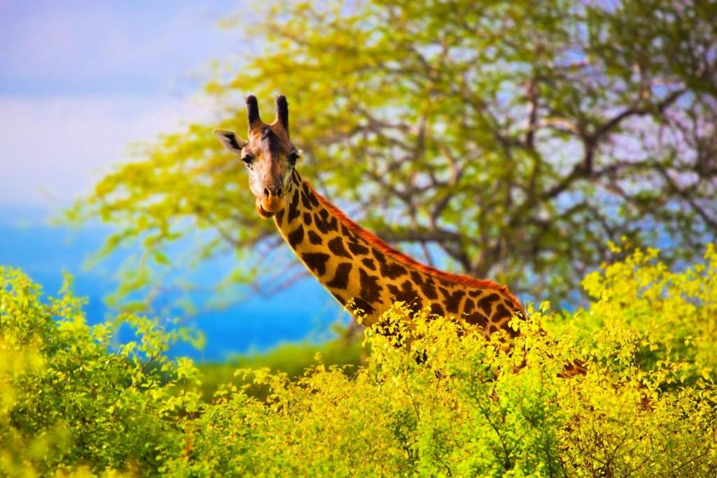 Žirafa v národním parku Tsavo West