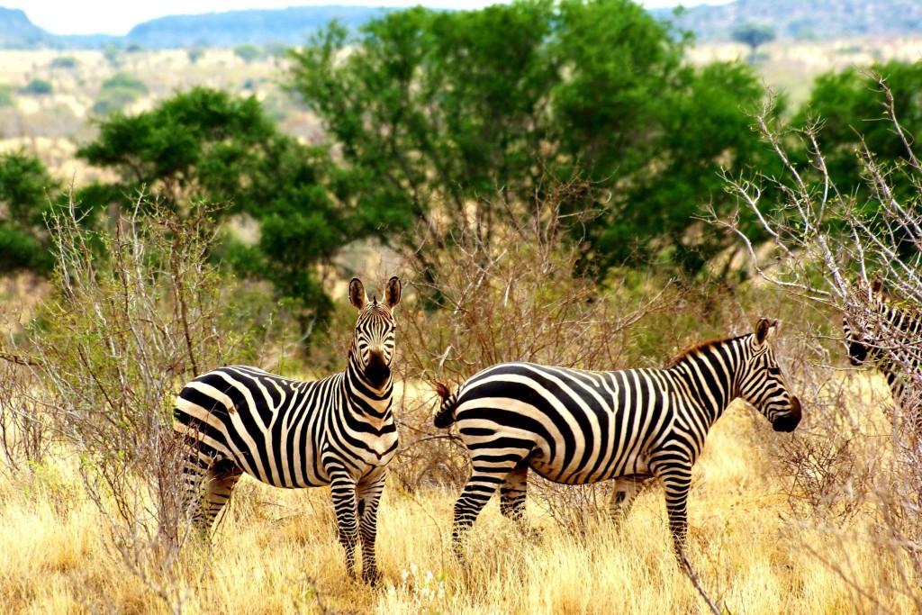 Žirafy v Tsavo East
