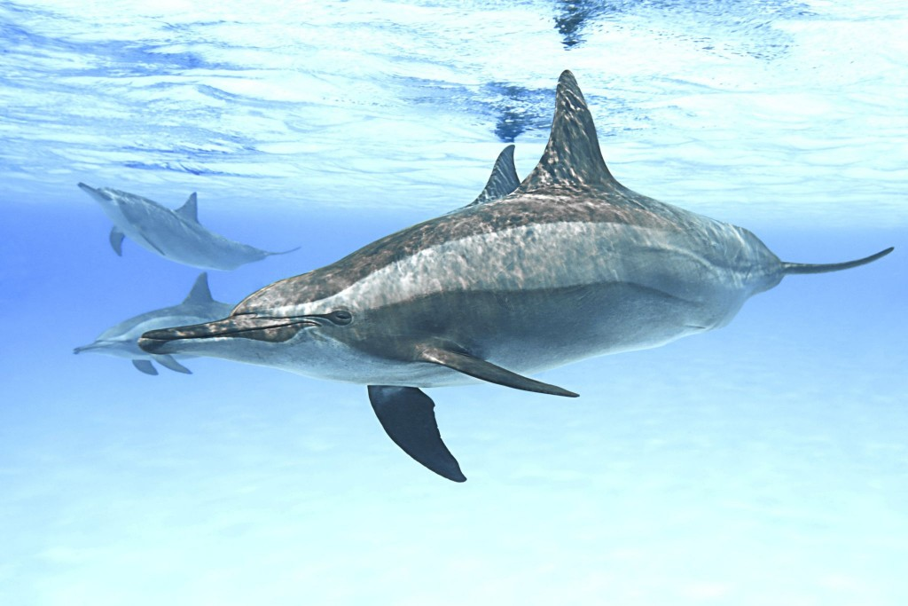 Delfín v egyptském Rudém moři