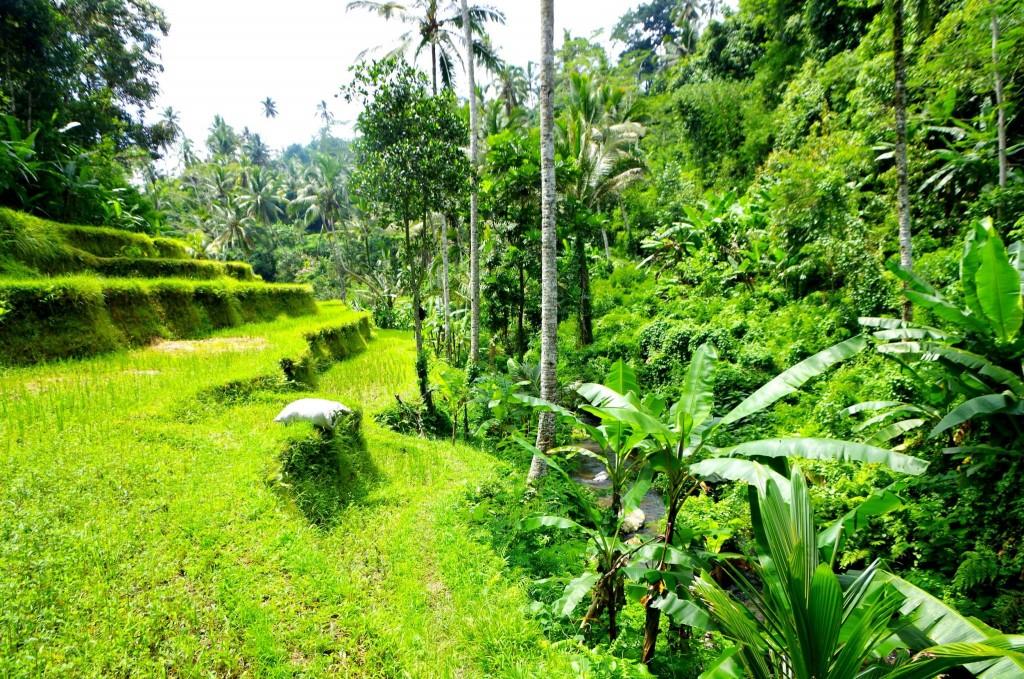 Gunung Kawi - procházka po rýžovém poli