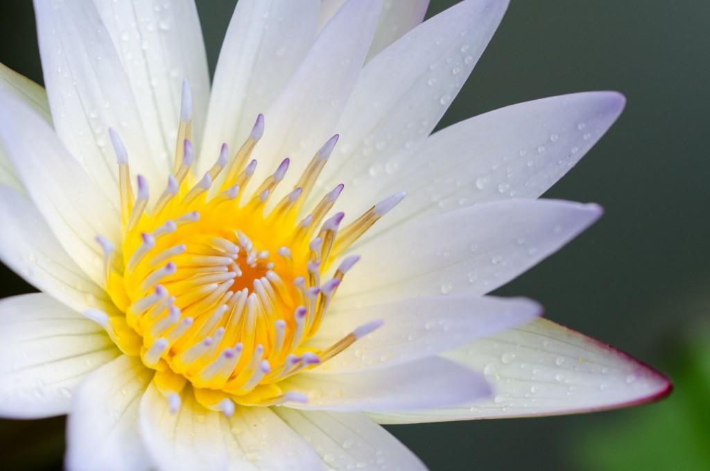 Lotosový květ v botanické zahradě na Bali