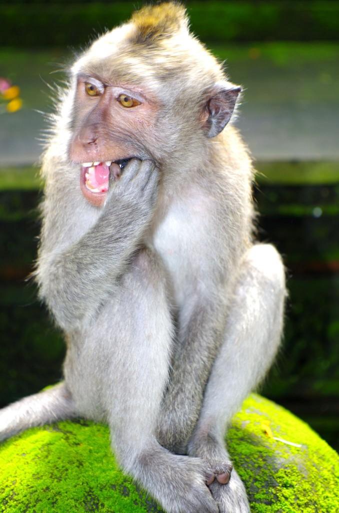 Makakové v Monkey Forest, Ubud