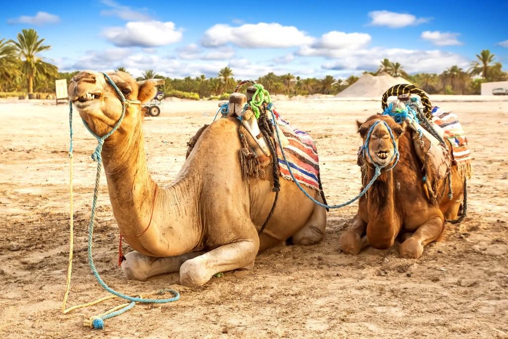 Velbloudi čekají ve městě Douz na výlet do pouště