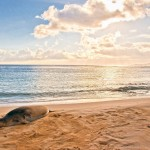 Havajský tuleň (monk seal)