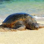 Želva na pláži v Poipu