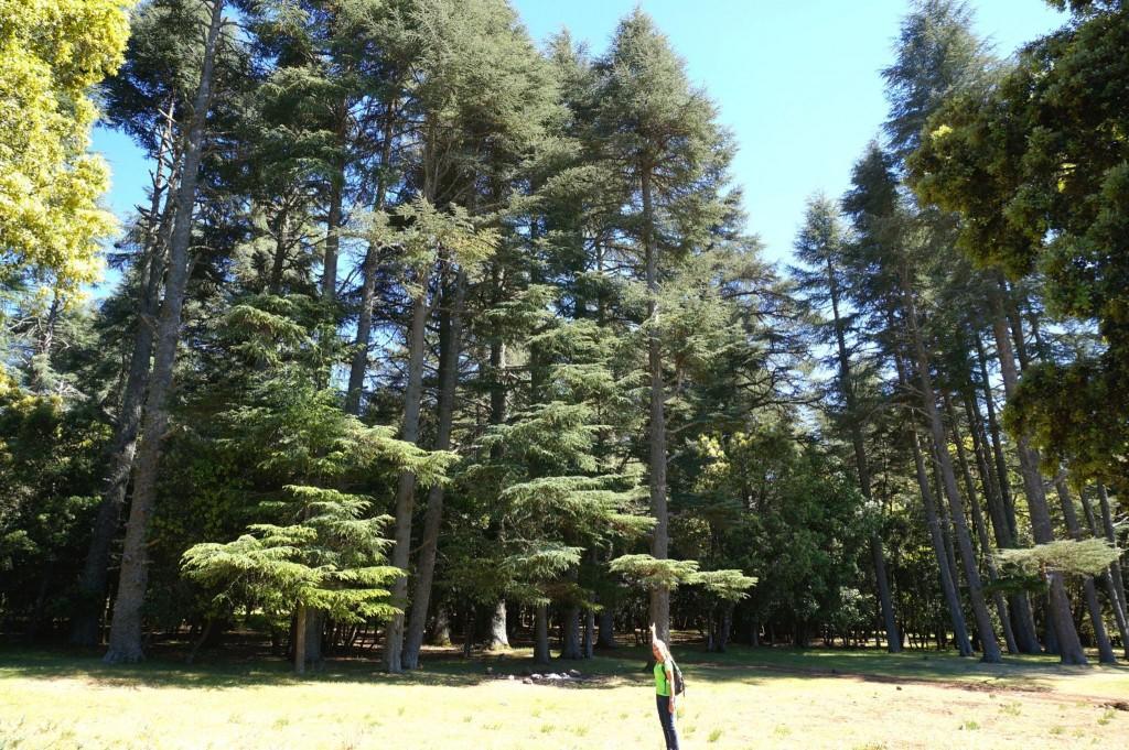 Cedrový les u Azrou