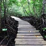 Mangrovy v pralese Jozani