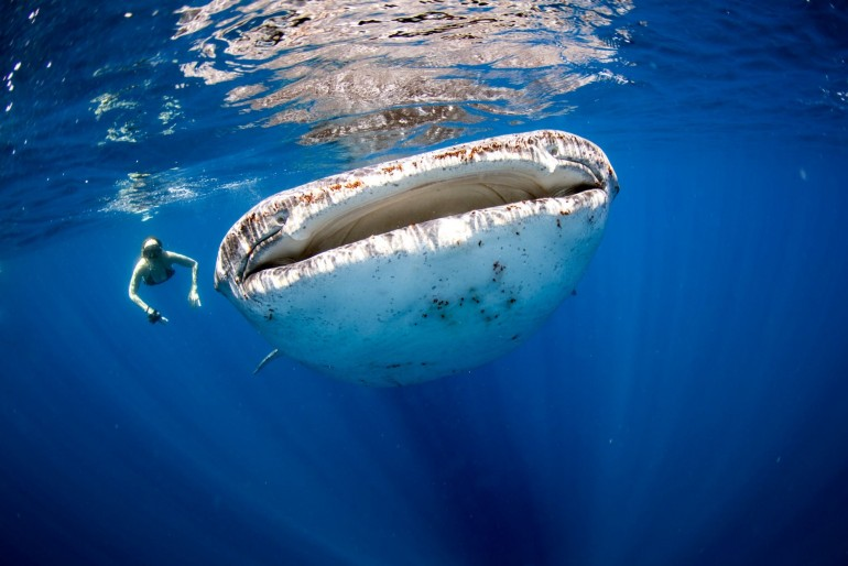 Šnorchlování se žralokem velrybím