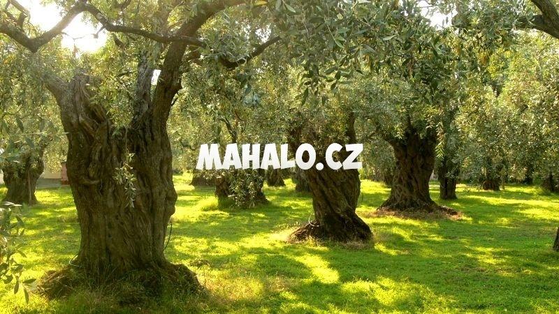 Olivovníky v Řecku