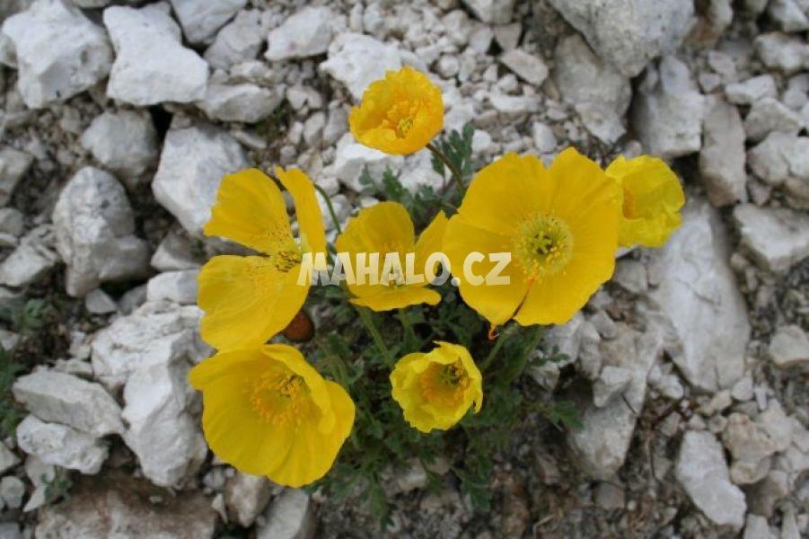 Žlutý mák