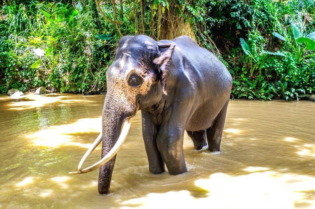 Koupání slona v řece - všimněte si zlomené levé přední nohy, sirotčinec tohoto slona pro jeho zranění vzal do své péče