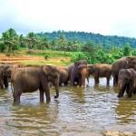 Pozorování slonů při koupání - Pinnawala elephant orphanage