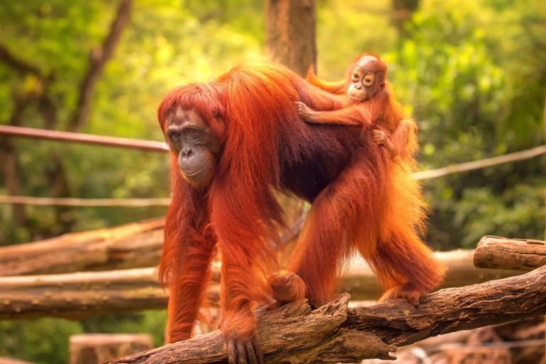 Rehabilitační centrum Sepilok pro orangutany