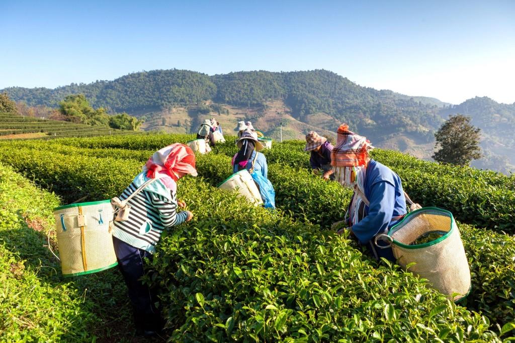 Sběračky čaje na plantážích Cameron Highlands