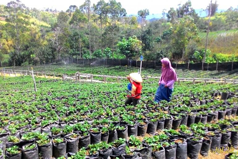 Čajová plantáž Malino