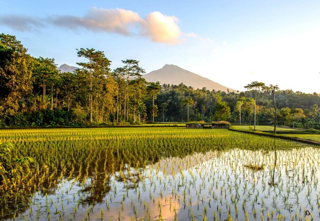 Rýžová pole u vesnice Tetebatu