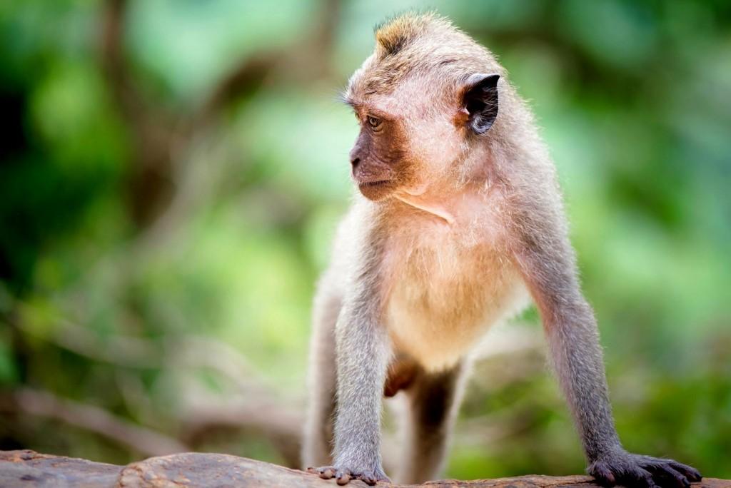 Tetebatu je známé velkým množstvím makaků