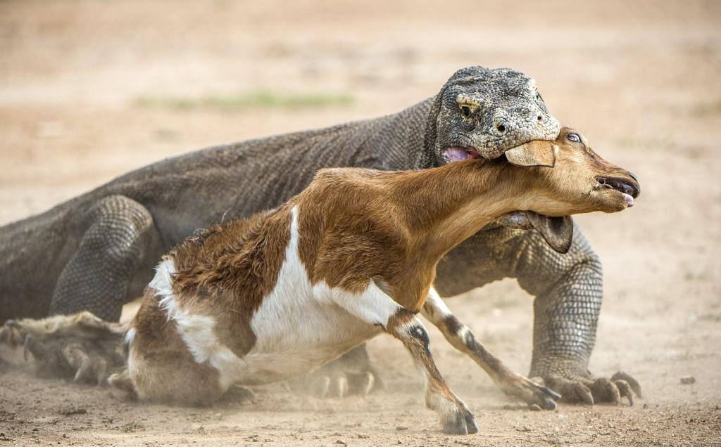 Varan komodský v Národním parku Komodo