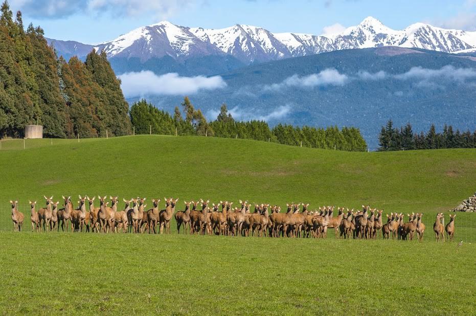 Pastviny na Novém Zélandu