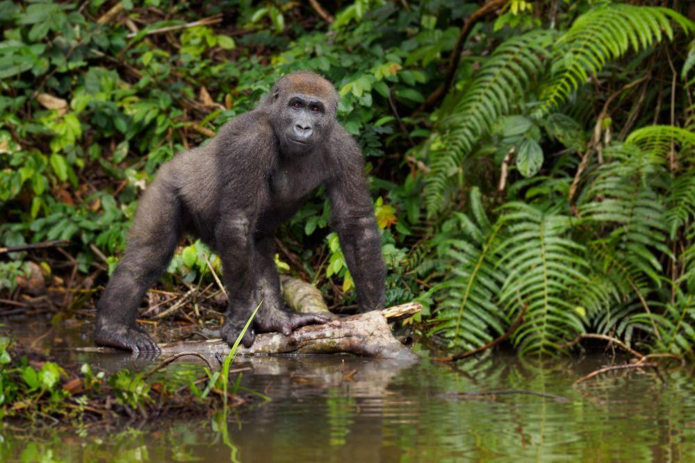 Gorilí ostrov v Kamerunu