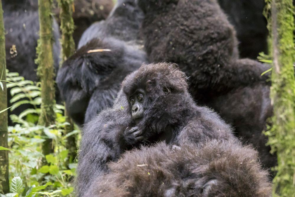 Gorily v národním parku Volcanoes