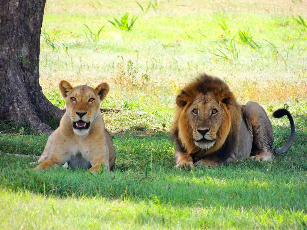 Predátoři v přirozeném prostředí NP Serengeti