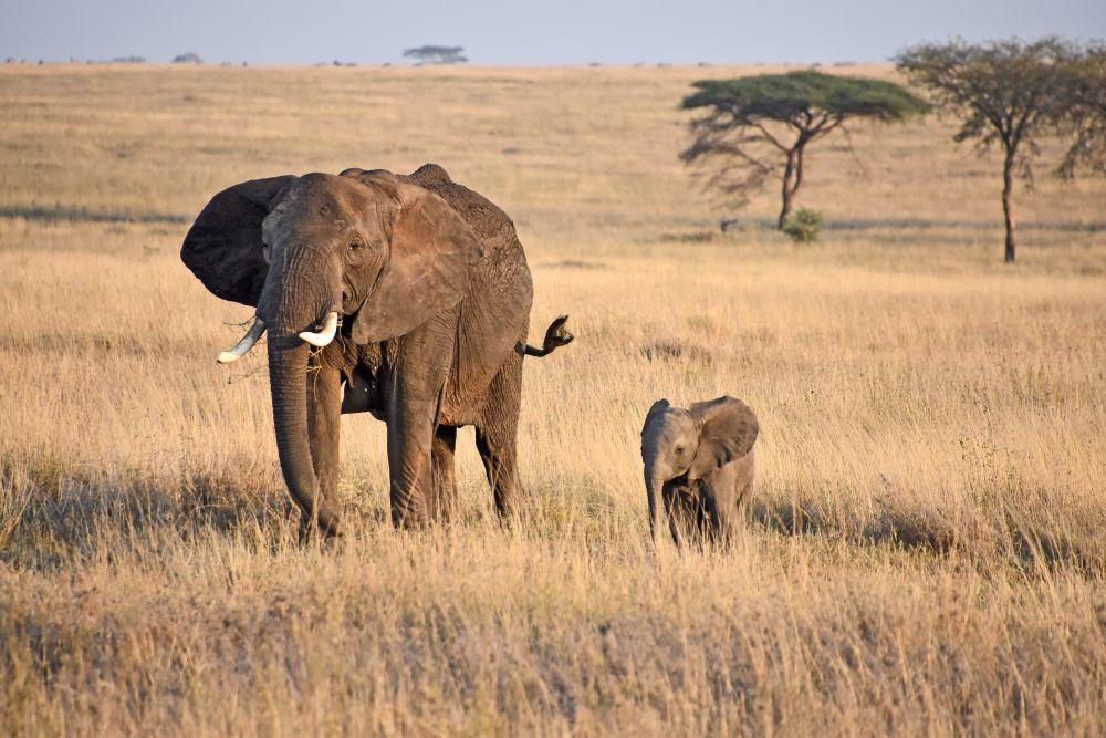 Velká migrace zvířat v národním parku Serengeti