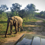 Divoký slon v Uda Walawe