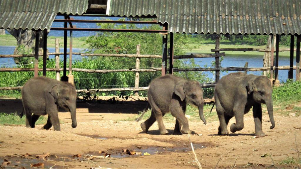 Krmení slůňat v Elephant Transit Home, Srí Lanka