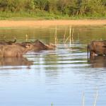 Vodní buvoli v NP Uda Walawe