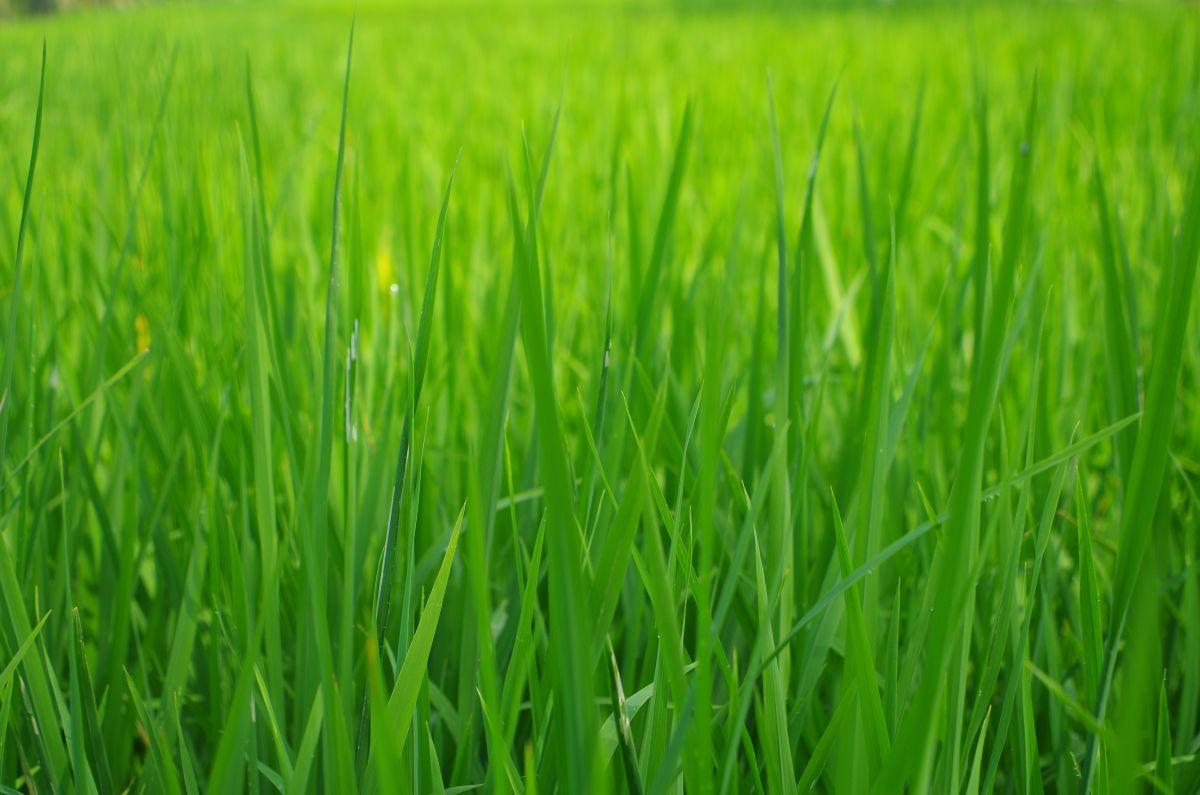 Ryzove policko hraje vsemi odstiny zelene