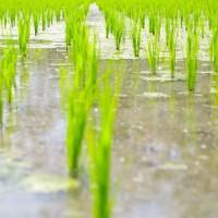 Jak roste ryze